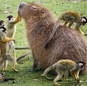 Chuột tương lai to bằng cừu