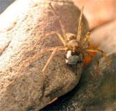 """Xem cách tặng quà """"cưa cẩm"""" bạn tình của một loài nhện"""