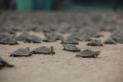 Mùa sinh sản của rùa Brazil
