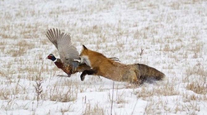 Cận cảnh cáo đỏ phục kích xơi tái gà lôi