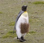 Chim cánh cụt hoàng đế thay lông