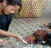 Hai trường hợp tử vong vì cúm H5N1 tại Campuchia