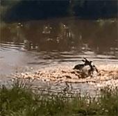 Video: Cá sấu đớp linh dương châu Phi nhanh như điện