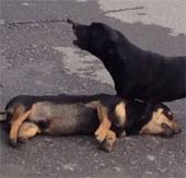 Video: chó con ra sức lay bạn dậy sau tai nạn giao thông