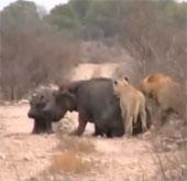 Video: Đàn sư tử xẻ thịt 2 mẹ con hà mã