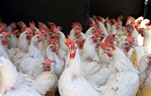 Công nghệ nuôi gà không cần kháng sinh ở Singapore