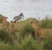 Video: Ngựa vằn thoát chết ngoạn mục trước bầy sư tử đói