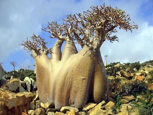 """Đảo """"ngoài hành tinh"""" Socotra – Yemen"""