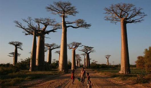 Cây bao báp đặc trưng của Madagascar