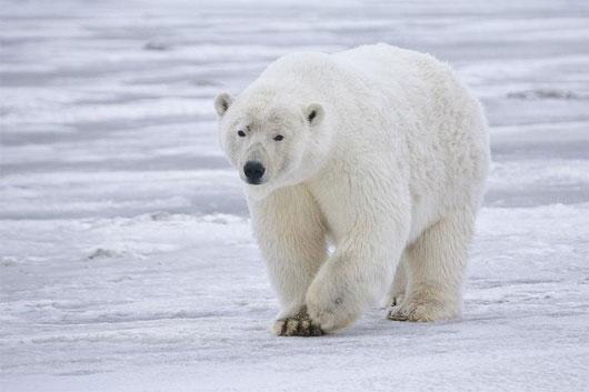 5 đặc điểm thú vị của gấu trắng Bắc Cực
