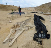 Giải mã cái chết bí ẩn tại nghĩa địa cá voi 9 triệu năm tuổi