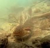 Video: Xem trăn khổng lồ săn cá sấu