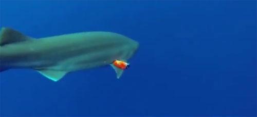 Lắp camera siêu nhạy trên thân cá mập