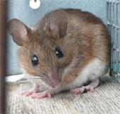Phòng thí nghiệm Nhật suýt để sổng chuột biến đổi gene