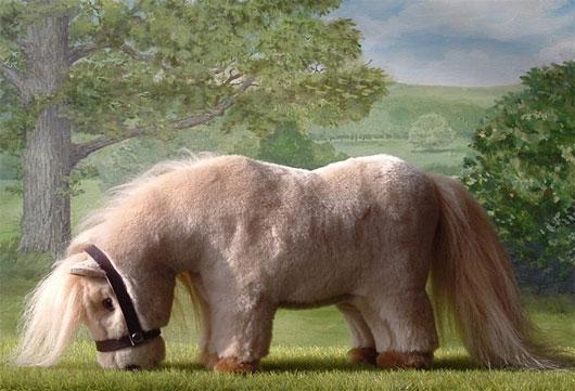 Chúng dễ phân biệt với các giống ngựa khác vì có bộ lông khá dày dài và đẹp.