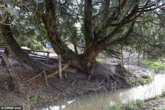 Bí ẩn cây linh sam tự hồi sinh từ cõi chết