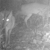 Loài thú nghi tuyệt chủng bất ngờ xuất hiện ở Thanh Hóa