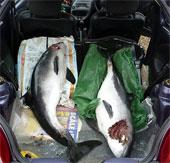Cá heo cũng giết chết đồng loại để giải trí