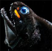 Cá rồng đã tiến hóa như thế nào để phát ra ánh sáng đỏ?