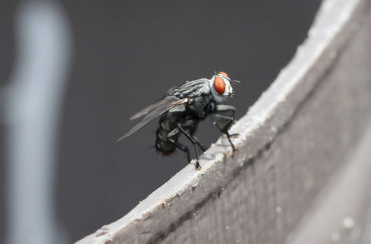 Các nhà khoa học tìm ra cách điều khiển loài ruồi giao phối bằng tia laser