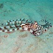 Bắt được bạch tuộc biến hình ở vịnh Thái Lan