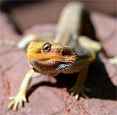 Phát hiện loài thằn lằn mới ở Công viên quốc gia Peru