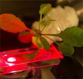 Cấy ống nano carbon vào tế bào thực vật để tăng hiệu suất quang hợp
