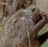 Video: Sư tử tấn công khỉ baboon