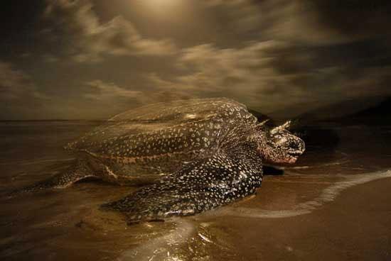 Bộ hàm đáng sợ của rùa da