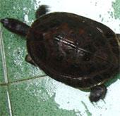Lập trung tâm bảo tồn rùa quý hiếm Trung Bộ