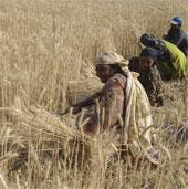 Biến đổi khí hậu khiến lượng ngũ cốc giảm 2% mỗi thập kỷ