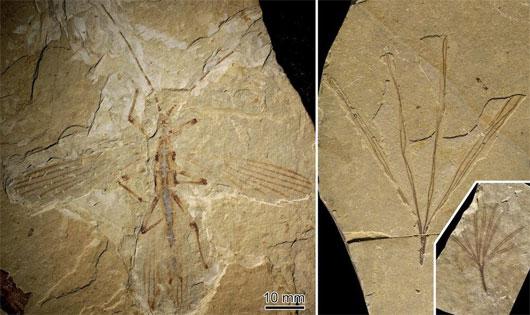 Hóa thạch cổ nhất của côn trùng hình que