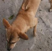 Kiên Giang bảo tồn giống chó Phú Quốc quý hiếm