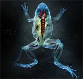 Ảnh chụp loài ếch trong suốt tuyệt đẹp