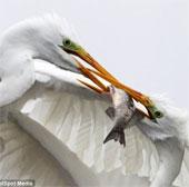 Cận cảnh cặp chim đói chiến đấu tranh giành con mồi