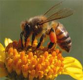 Gần 1/4 loài ong nghệ ở châu Âu có nguy cơ tuyệt chủng