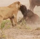Video: Trâu rừng liều mạng đánh sư tử cứu bạn