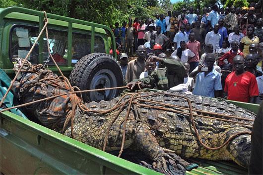 Bắt được cá sấu khổng lồ nặng gần 1 tấn