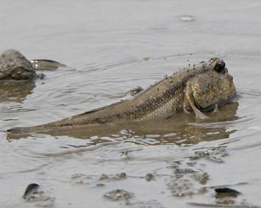 Kỳ lạ những loài cá thích đi bộ trên cạn