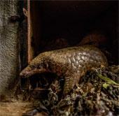 Báo Mỹ kêu gọi bảo vệ tê tê ở Việt Nam