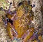 Loài ếch mới da có gai hình nón ở núi Ngọc Linh