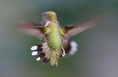 Những điều chưa biết về chim ruồi