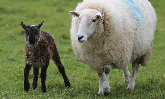 Cừu lai dê ra đời tại Ireland