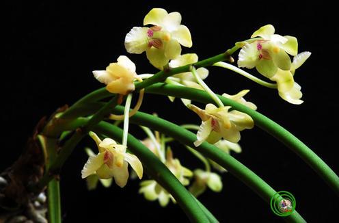 Phát hiện loài lan mới ở Ninh Thuận