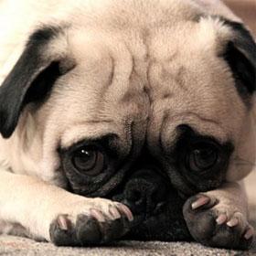 Tìm hiểu cảm giác, ứng xử khi xấu hổ, hối lỗi của loài chó
