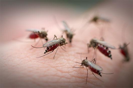 Sốt chikungunya là bệnh do virus chikungunya lây nhiễm qua trung gian của muỗi truyền bệnh.