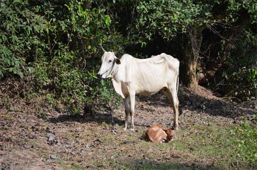 Bệnh sốt Rift Valley chủ yếu ảnh hưởng đến động vật