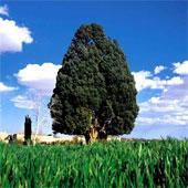 Nhân bản vô tính cây bách 5000 năm tuổi