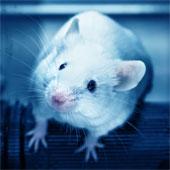 Hormone stress làm biến đổi mô não ở chuột