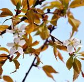 """Người Nhật phát sốt với cây anh đào """"thần kỳ"""" từ vũ trụ"""